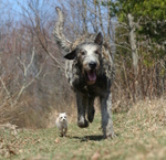 Running Irish Wolfhound dog