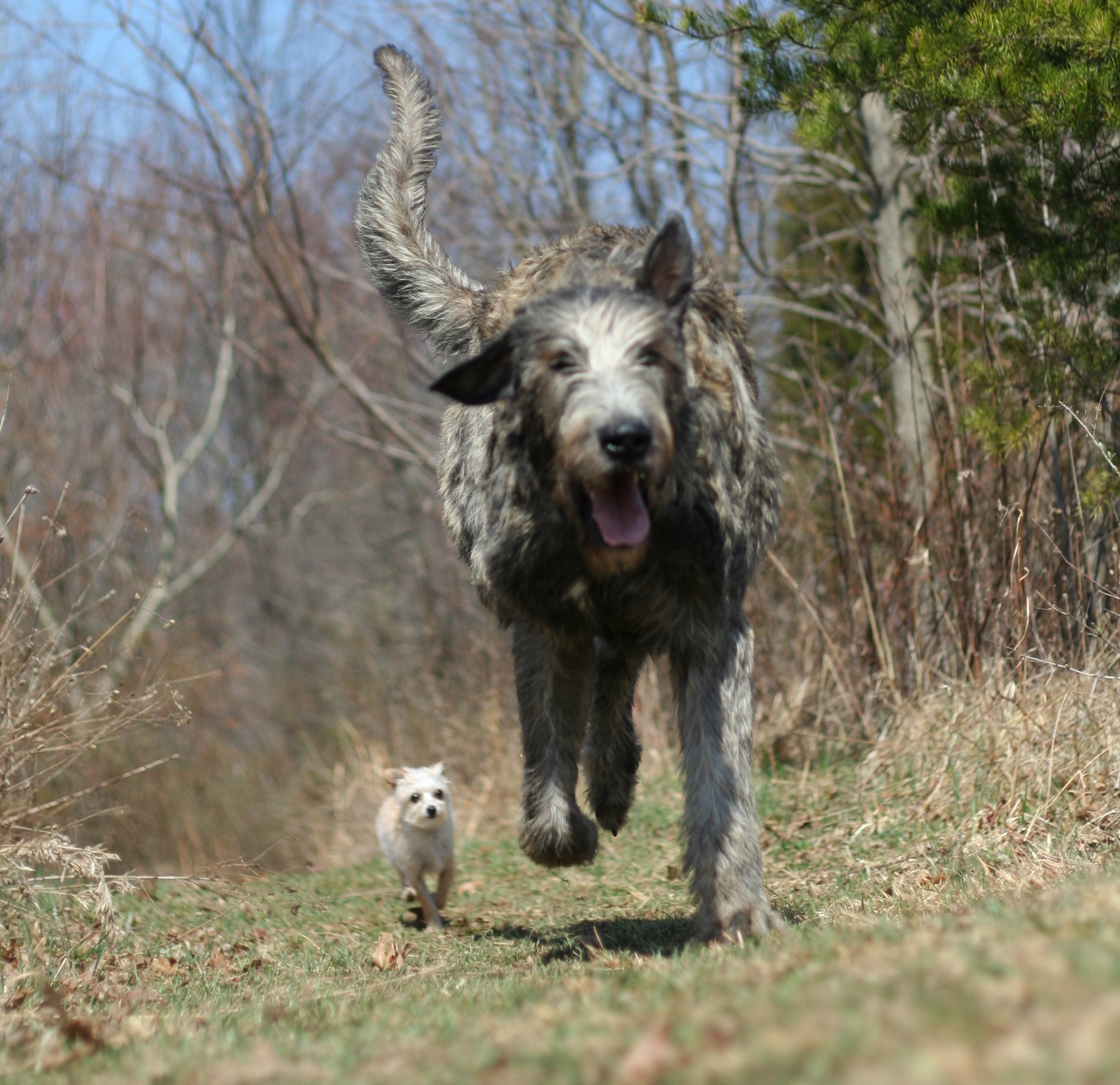 Running Irish Wolfhound dog wallpaper