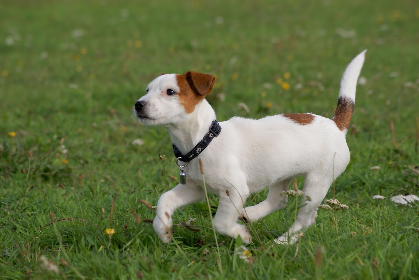 Add photos Running Jack Russell Terrier in your blog: