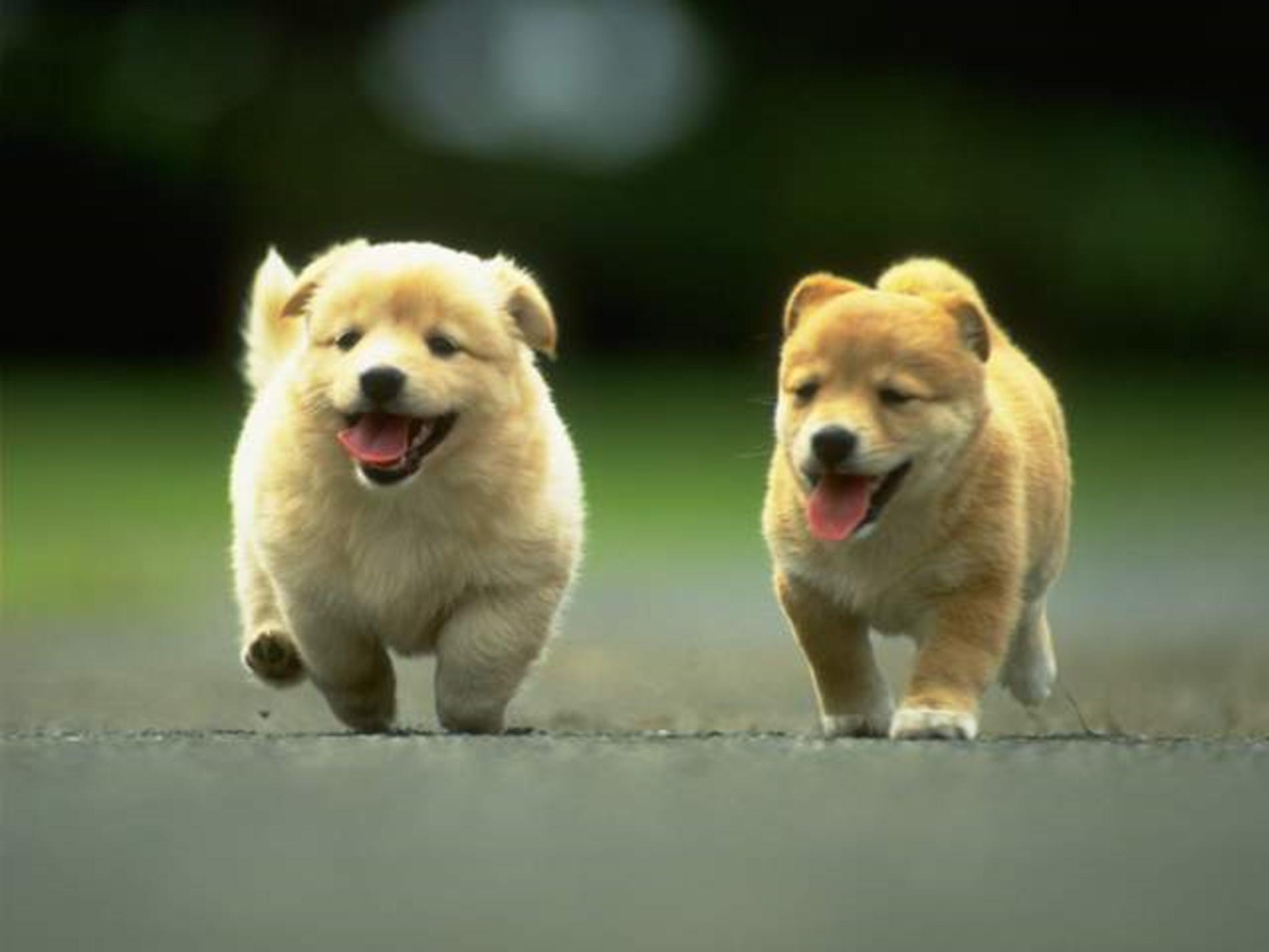 Running Kintamani puppies wallpaper