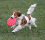 Running Kooikerhondje dog