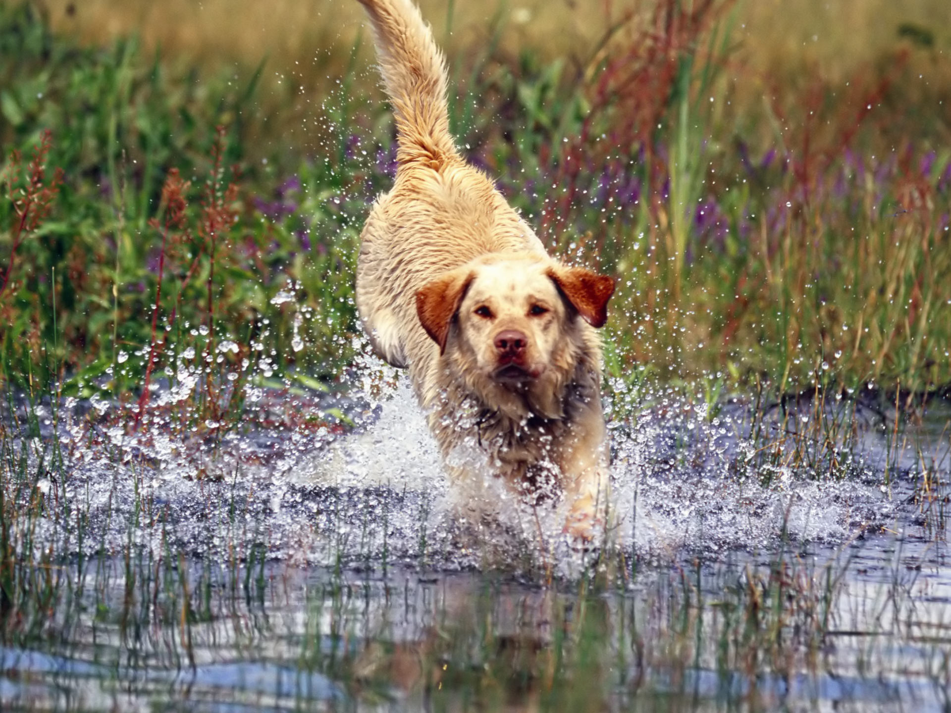 Running Labrador Retriever dog wallpaper