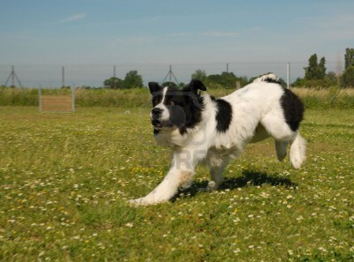 Running Landseer dog wallpaper