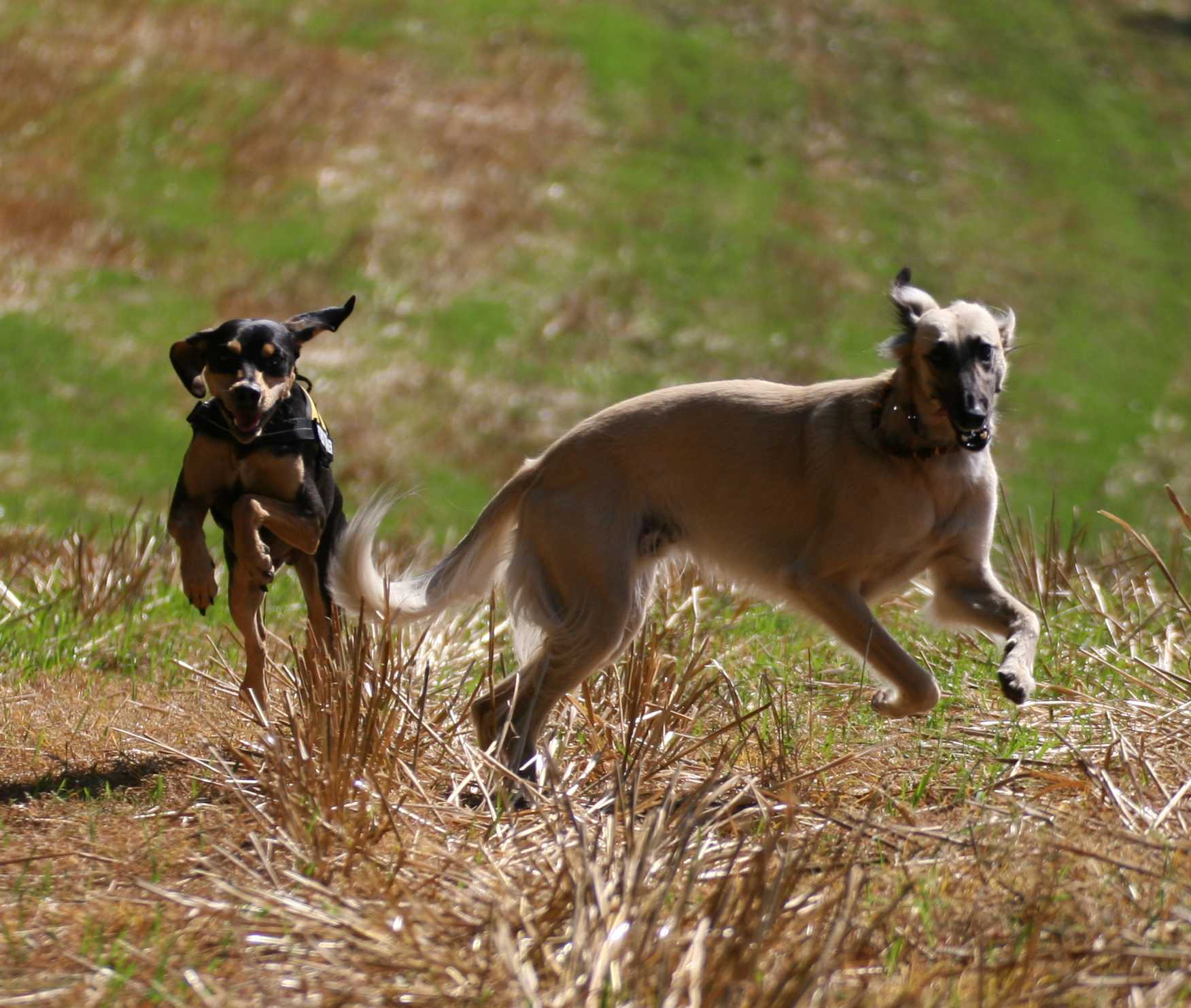 running longhaired whippet dog photo and wallpaper