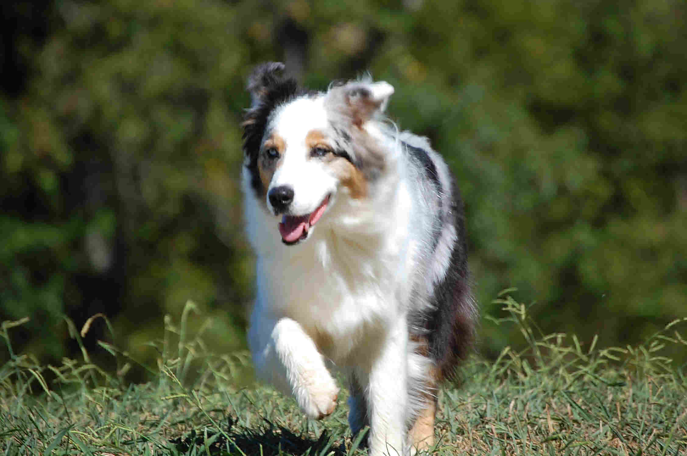 Running Miniature Australian Shepherd wallpaper