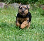 Running Norwich Terrier dog