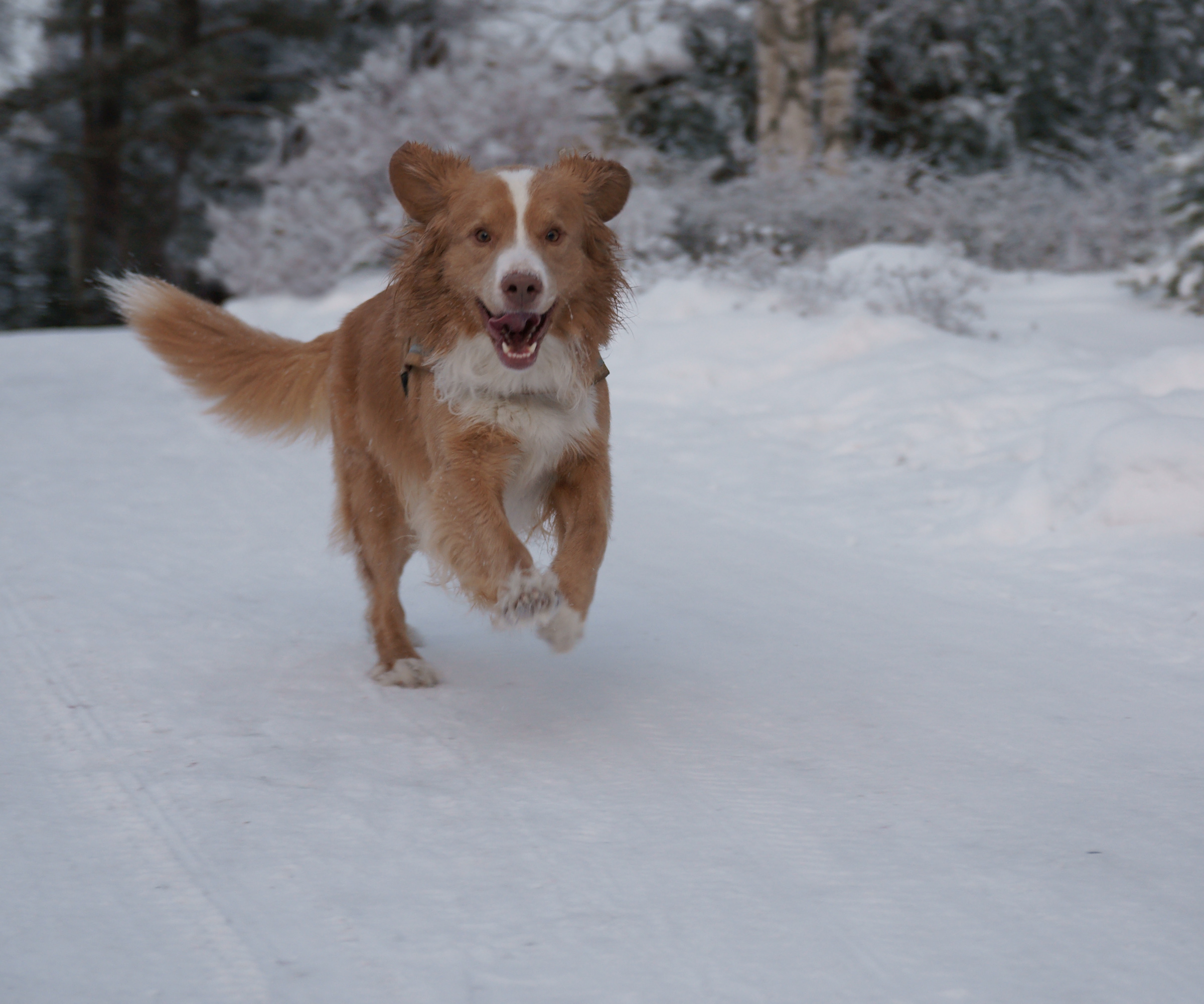 Running Nova Scotia Duck-Tolling Retriever  wallpaper