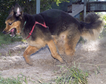 Running Old German Shepherd Dog