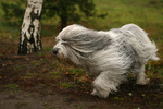 Running Polish Lowland Sheepdog