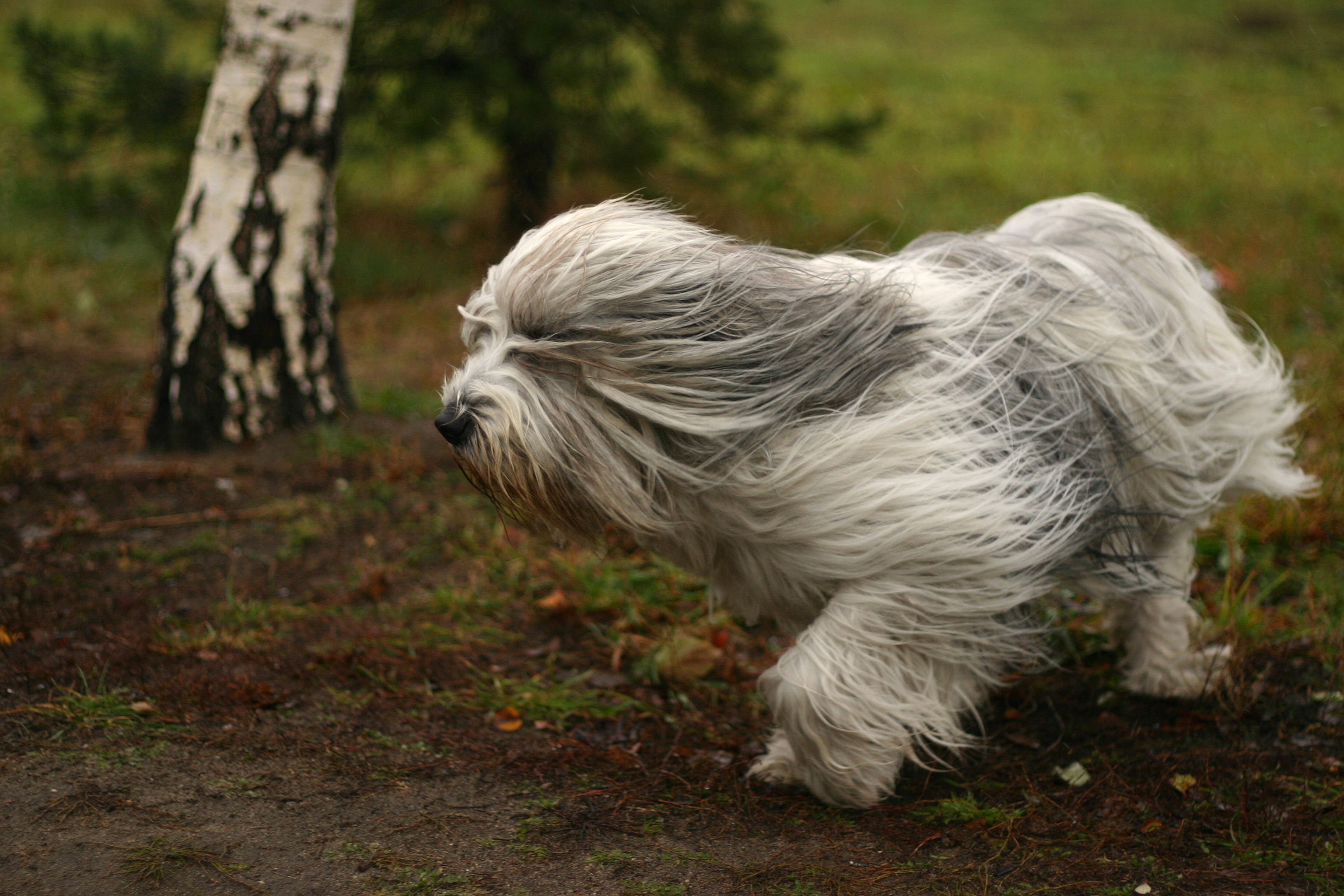 Running Polish Lowland Sheepdog  wallpaper