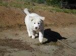 Running Pungsan Dog