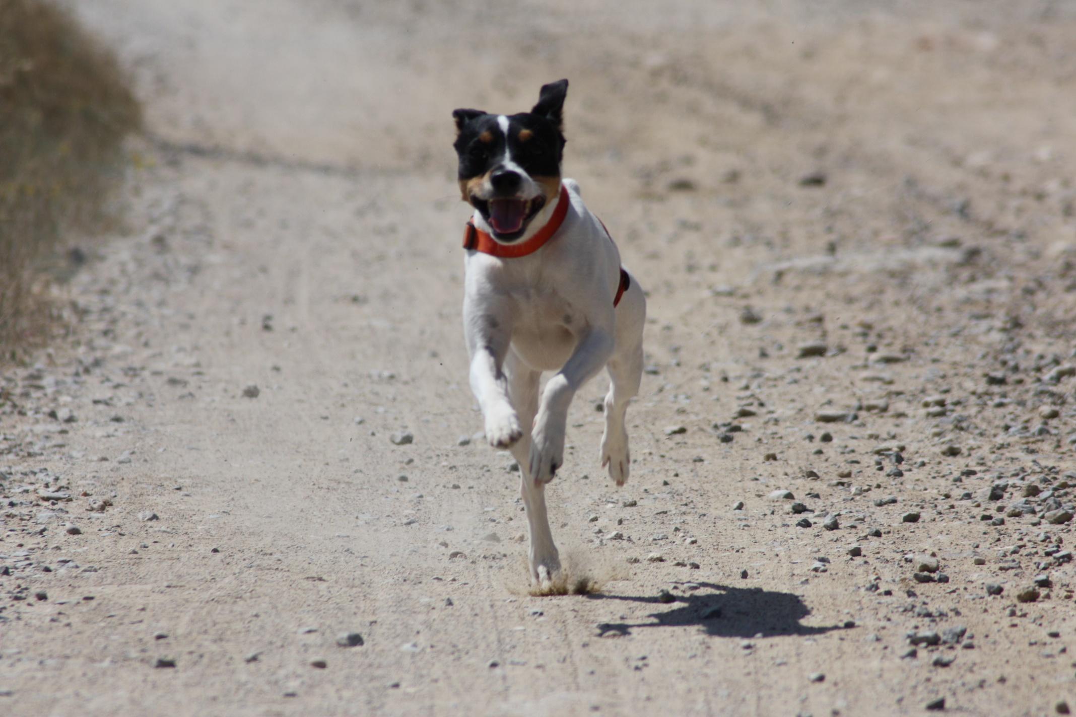 Андалузский трактирный крысолов бежит фото