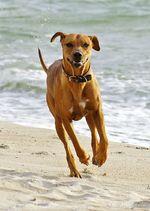 Running Rhodesian Ridgeback dog