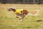 Running Saluki dog