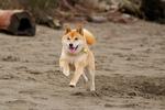 Running Shiba Inu dog