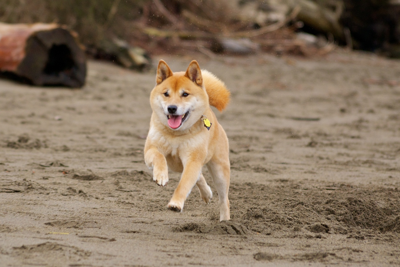 Running Shiba Inu dog  wallpaper