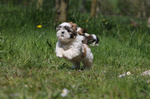 Running Shih Tzu dog