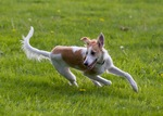 Running Silken Windhound