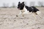 Running Stabyhoun