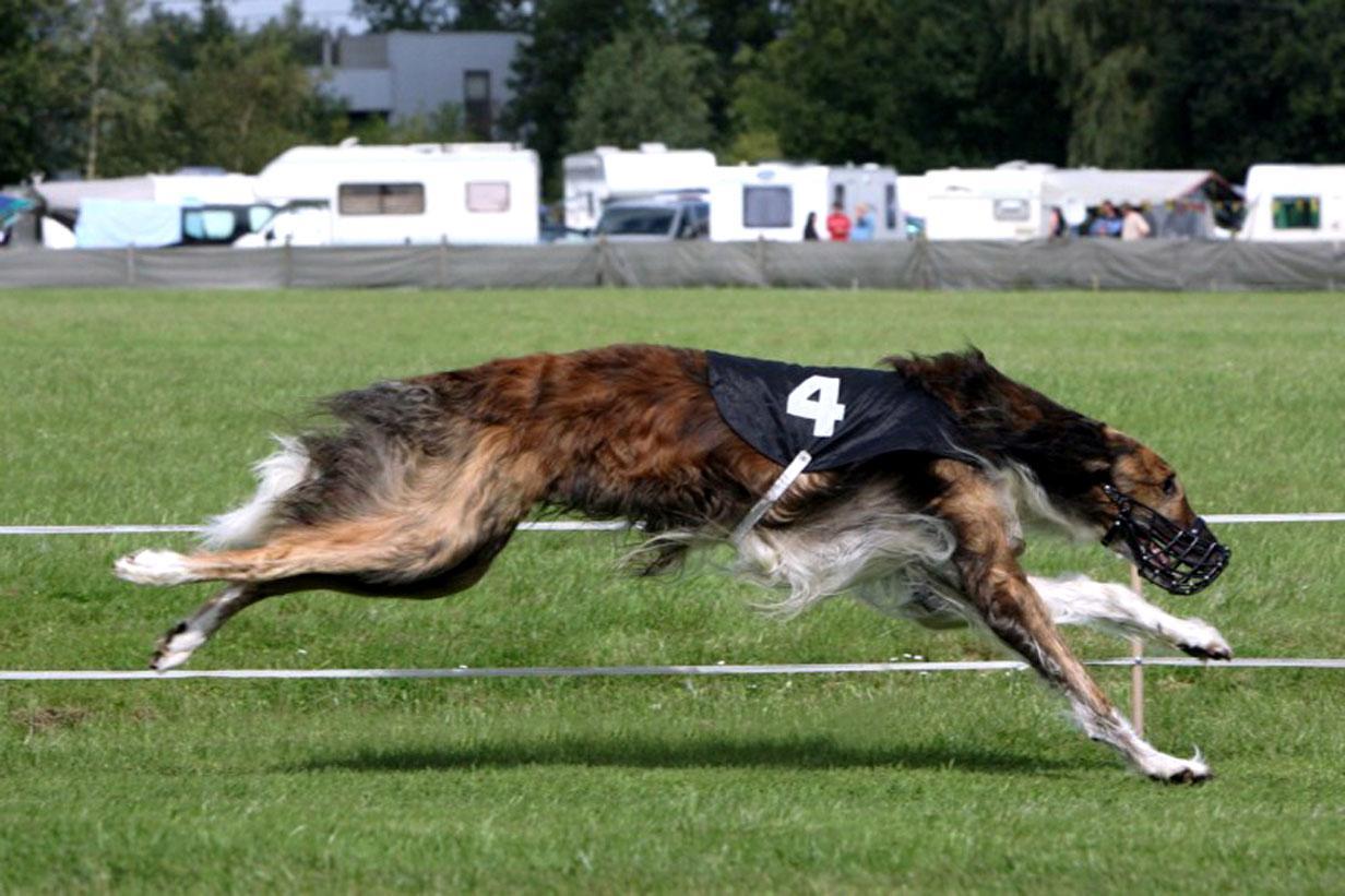 Собака Тайган бежит фото
