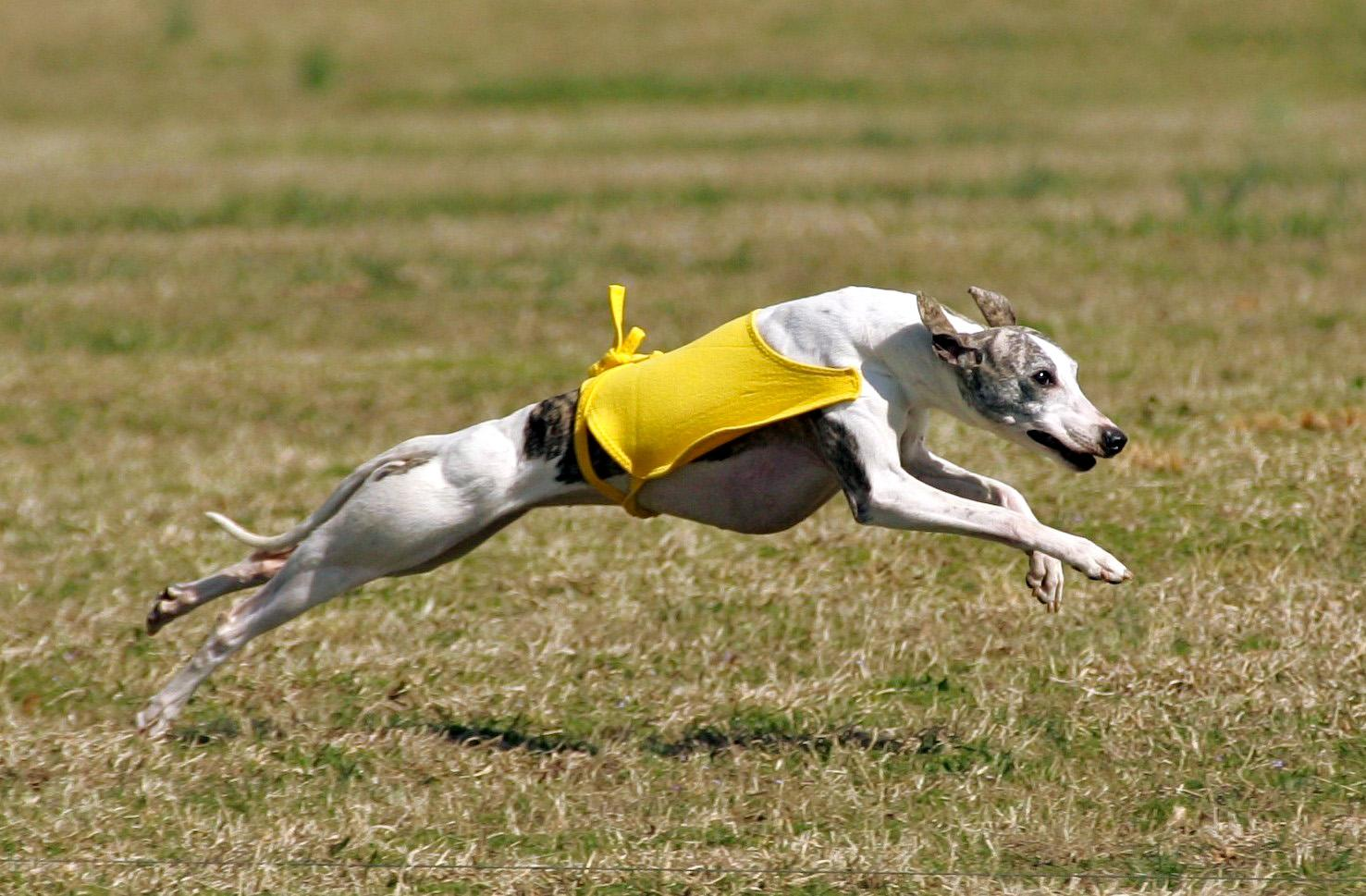 Running Whippet dog wallpaper