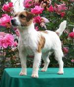 Russell Terrier dog in flowers