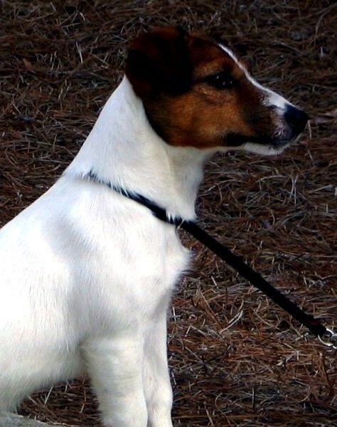 Russell Terrier dog wallpaper