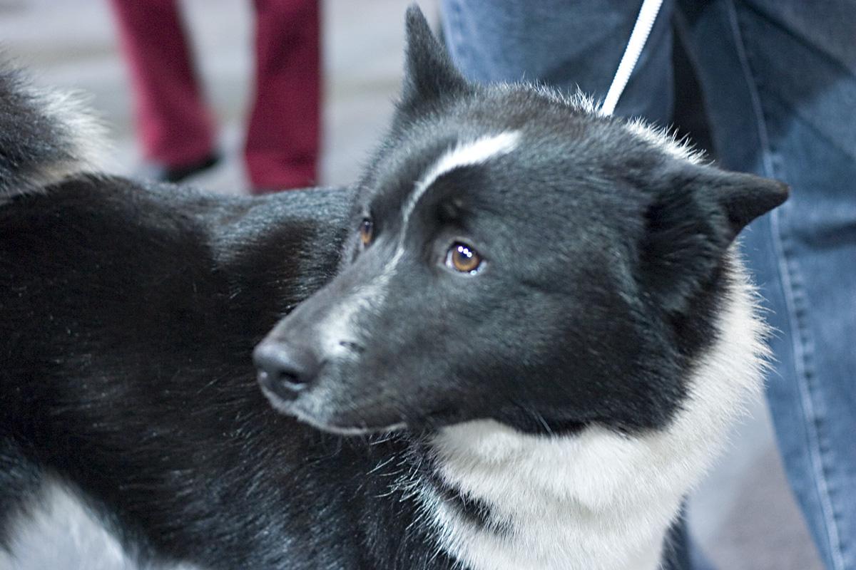 Russo-European Laika dog face wallpaper