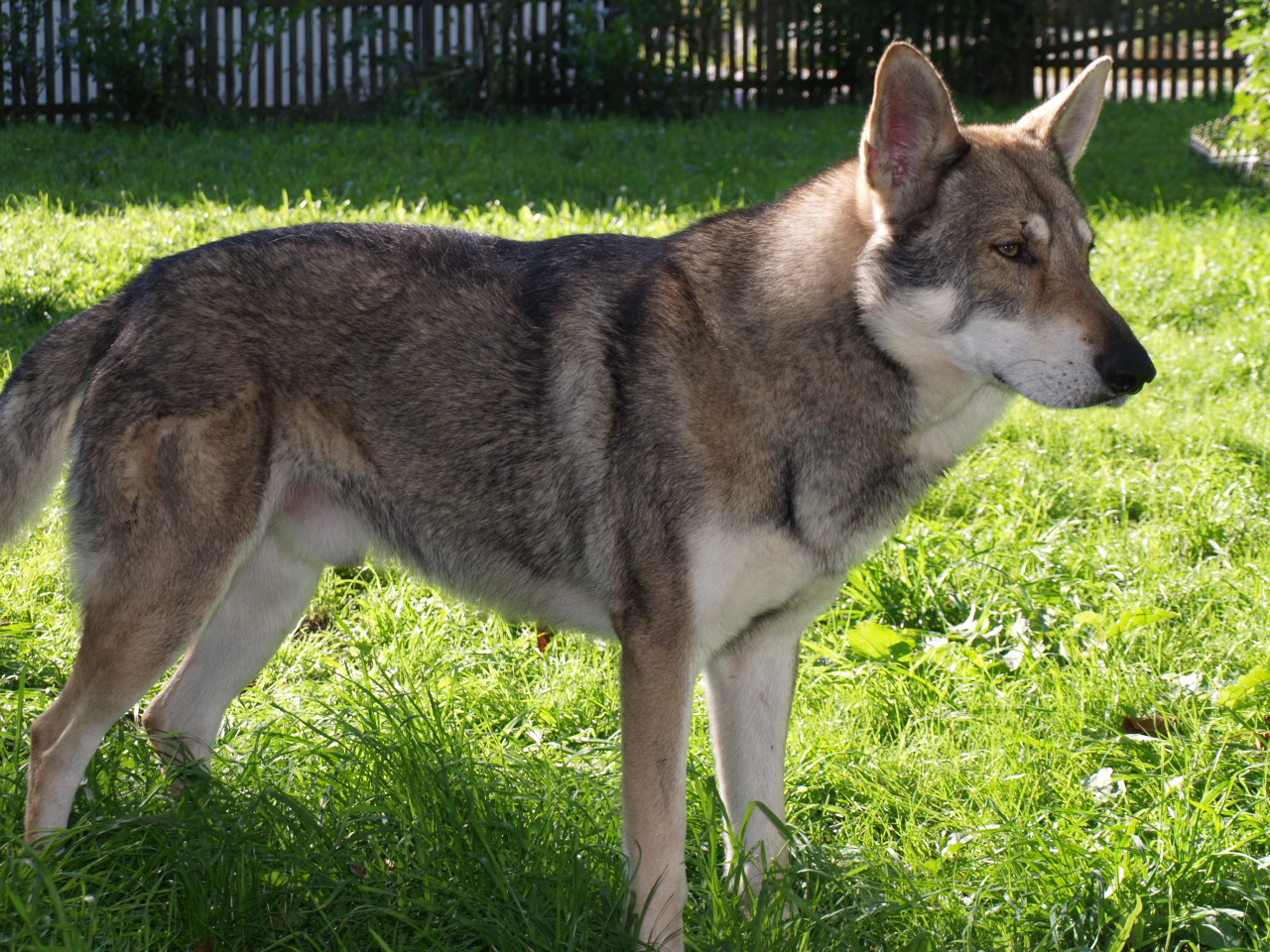 Волчья собака Сарлоса на траве фото