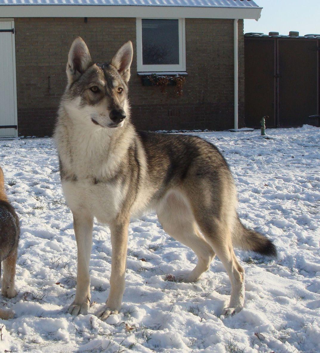 Волчья собака Сарлоса на снегу фото