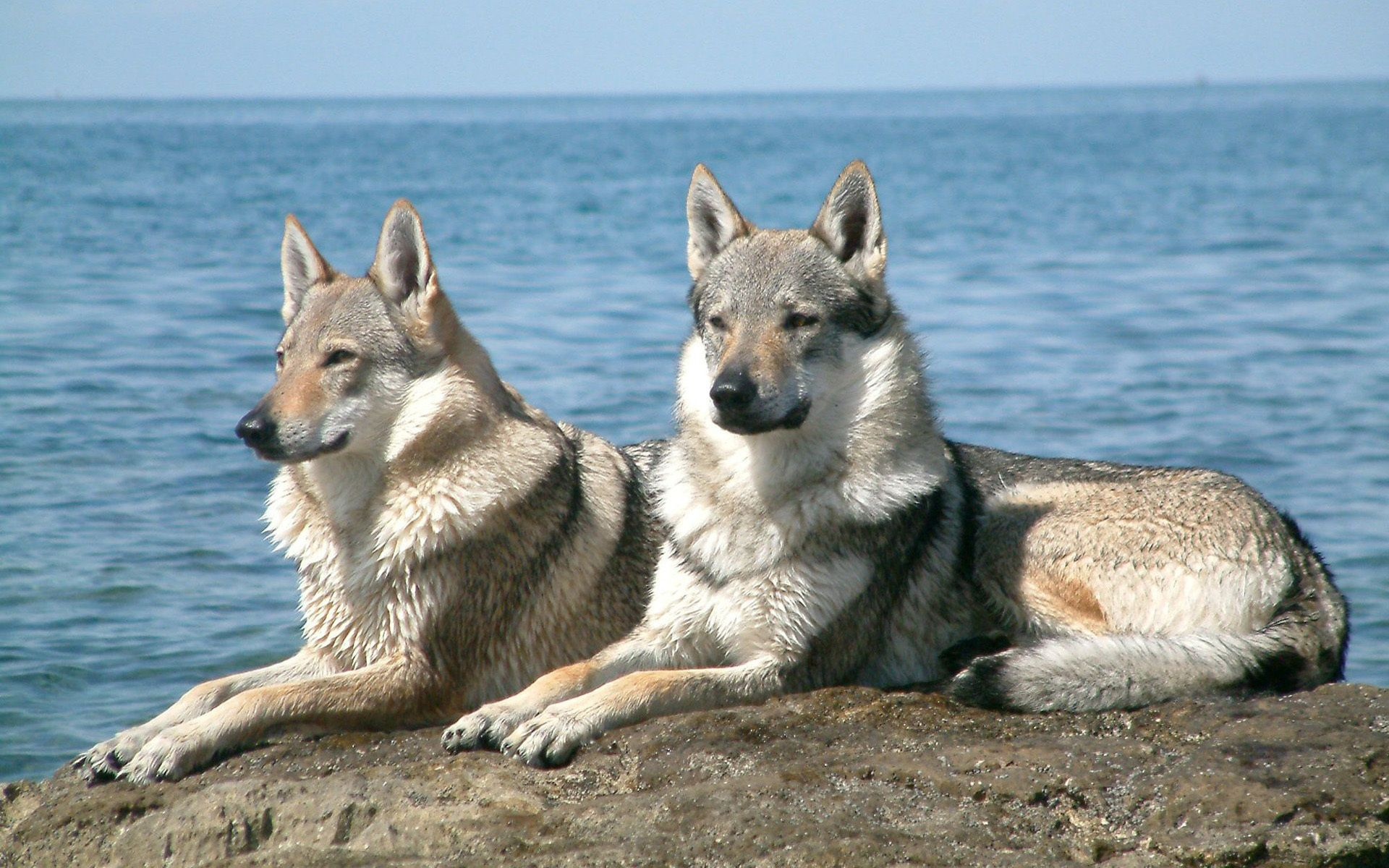 Saarlooswolfhond dogs near the sea wallpaper