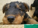 Sad Airedale Terrier