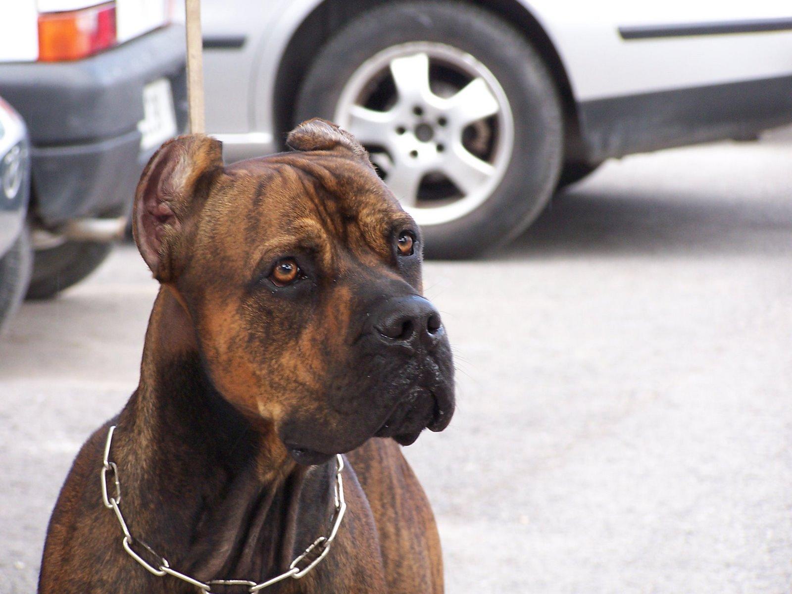Грустная собака алано фото