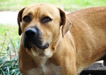 Sad Blackmouth Cur dog