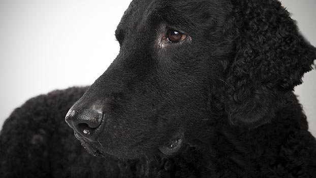 Sad Curly Coated Retriever dog wallpaper