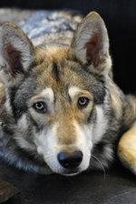 Sad Czechoslovak Wolfdog