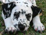 Sad Dalmatian