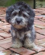 Sad Dandie Dinmont Terrier