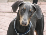 Sad Doberman Pinscher dog