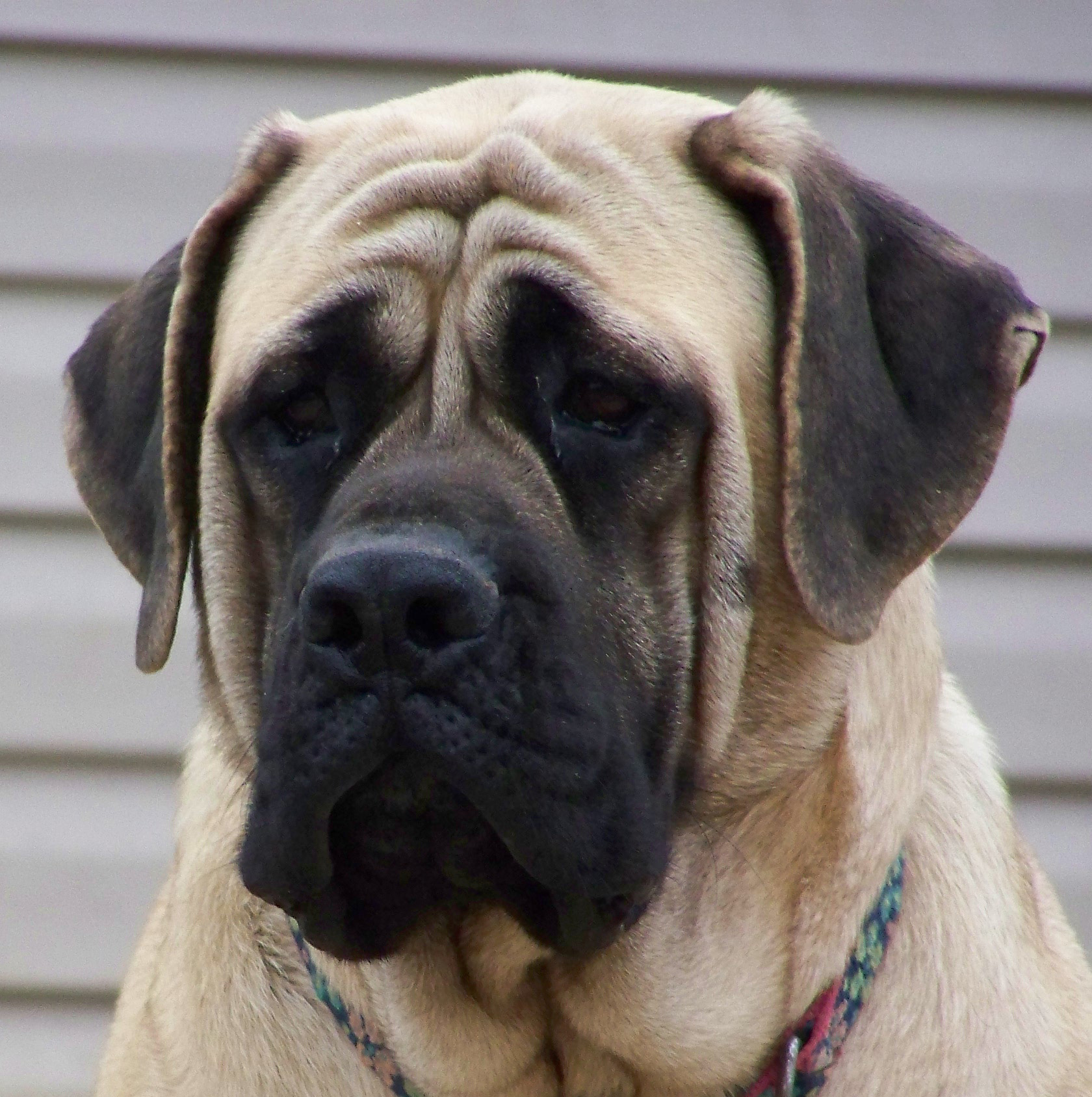 Sad English Mastiff  wallpaper