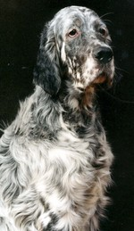 Sad English Setter dog