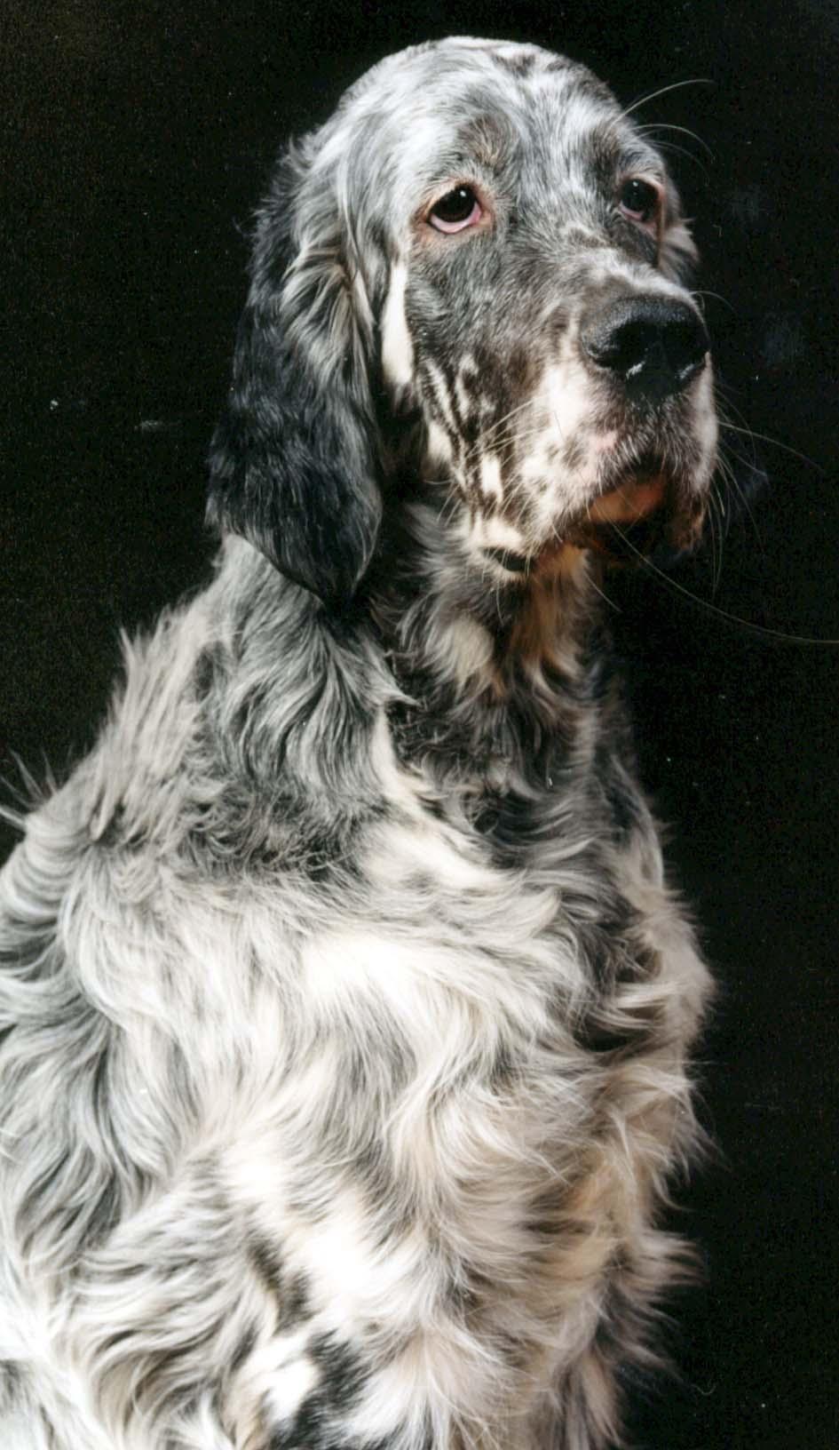 Sad English Setter dog wallpaper
