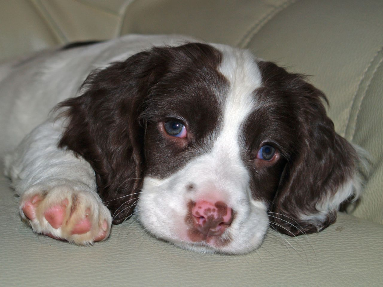 Sad English Springer Spaniel puppy wallpaper