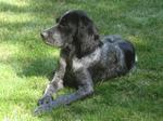 Sad Epagneul Bleu de Picardie Dog