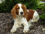 Sad eyes Welsh Springer Spaniel dog