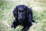 Sad Flat-Coated Retriever dog