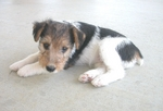 Sad Fox Terrier,Wire puppy