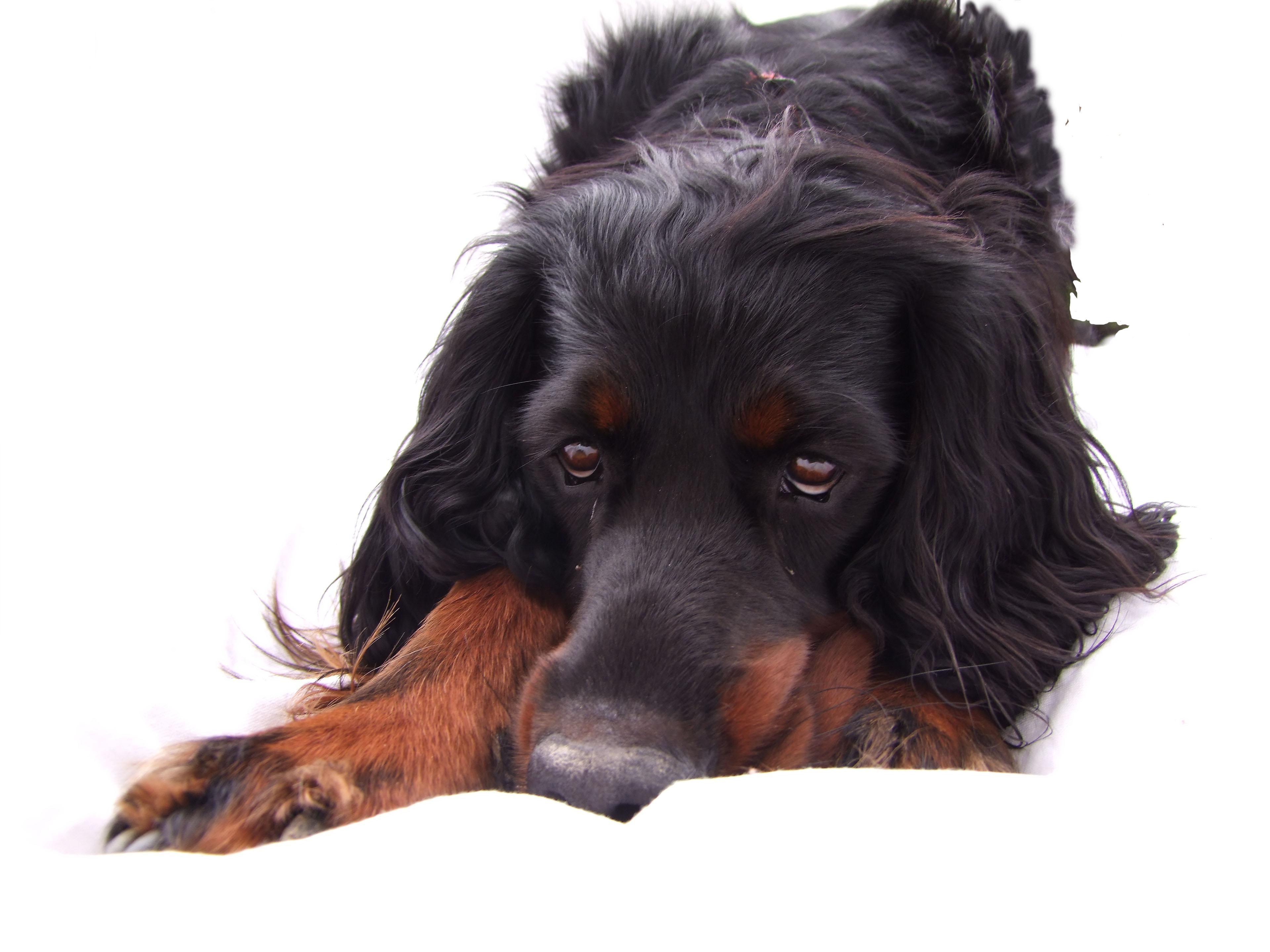 Sad Gordon Setter dog wallpaper
