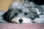 Sad Havanese dog