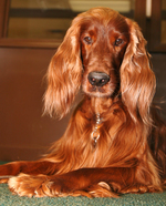 Sad Irish Setter dog